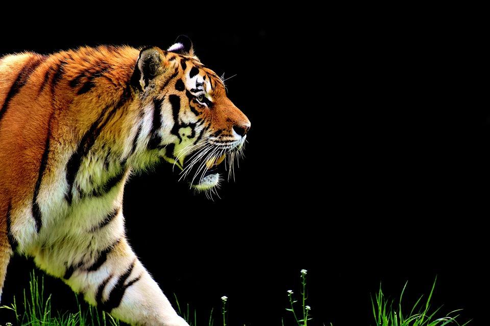 Tiger Trails of Central India - Urmimala Banerjee, The Wanderers